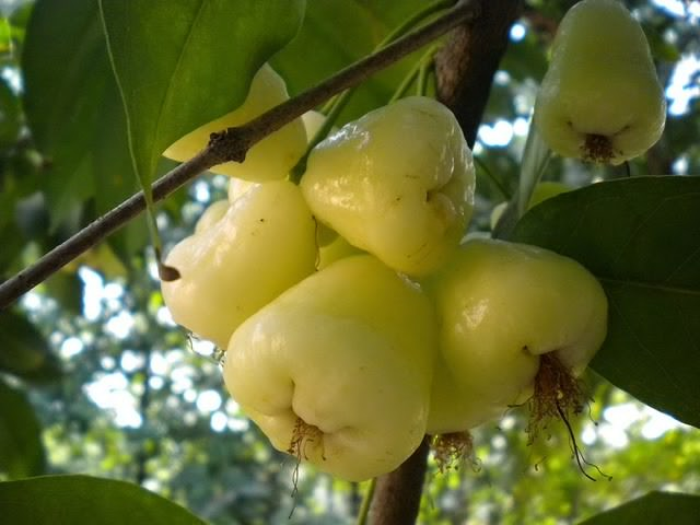 White Jamun for Diabetes