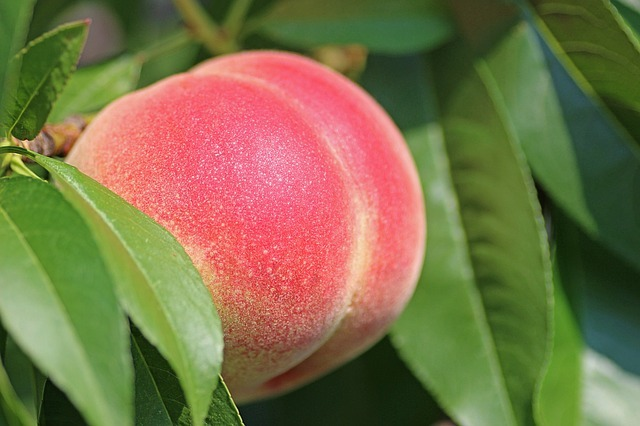peaches and diabetes